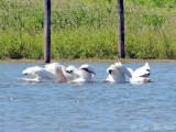 American White Pelicans: Bartow Co., GA