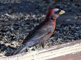 American Tanagers, Cardinals, Grosbeaks, etc.