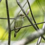 Swainson's Warbler.jpg