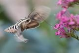 White-lined Sphinx Moth 1.jpg
