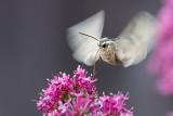 White-lined Sphinx Moth 2.jpg