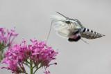 White-lined Sphinx Moth 3.jpg