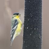 Lesser Goldfinch.jpg