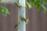 Lesser Goldfinches.jpg