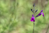 Meadow sage salvia violet.jpg