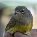 MacGillivray's Warbler.jpg