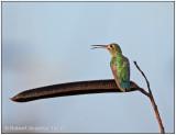 Green-tailed Goldenthroat.jpg