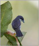 Red winged Tanager female 1.jpg