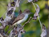 Short-crested Flycatcher 2.jpg