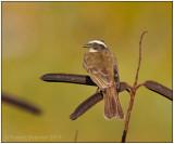 Social Flycatcher.jpg