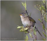 Wedge-tailed Grass-Finch 1.jpg