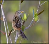 Wedge-tailed Grass-Finch 2.jpg