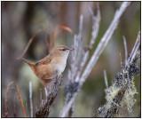 apolinars marsh wren 1.jpg