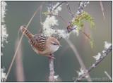 apolinars marsh wren 2.jpg