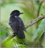 blackish-grey antshrike male 1.jpg