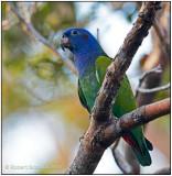 blue-headed parrot.jpg