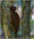 chestnut woodpecker.jpg