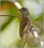 golden-spangled piculet female 1.jpg