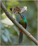 green-tailed jacamar with morpha.jpg