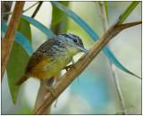 imeri warbling antbird.jpg