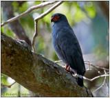 slate-coloured hawk.jpg