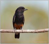 swallow-winged puffbird.jpg