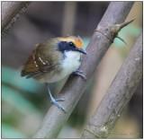 white-browed antbird female.jpg