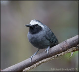 white-browed antbird male.jpg