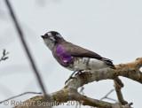white-browed purpletuft.jpg