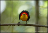 wire-tailed manakin male 2 front.jpg