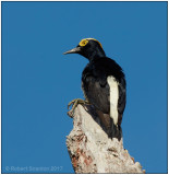 yellow-tufted woodpecker.jpg