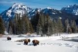 American Bison, Eastern Lamar Valley