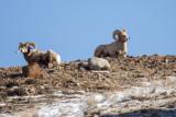 Bighorn Sheep (rams)