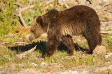 Yearling Grizzly Cub