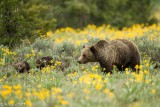 Grizzly Sow and Cubs of the Year