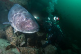 Giant Black Sea Bass and Diver