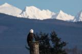 Bald Eagle, Mount Baker