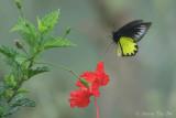 *(Troides andromache)* Borneo Birdwing ♂
