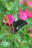 (Papilio helenus) Red Helen