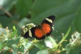 (Cethosia hypsea) Malayan Lacewing
