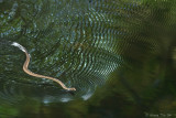 (Psammodynastes pictus) Painted Mock Viper