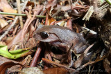 (Leptobrachium montanum) Montane large-eyed litter frog