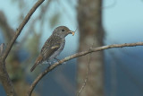 Flycatchers,  Whistler and Nuthatch