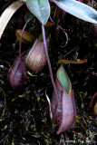 (Nepenthes tentaculata)