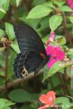 *(Papilio acheron) *Bornean Mormon