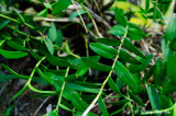 (Dendrobium crumenatum) Pigeon Orchid