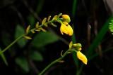 (Spathoglottis aurea)