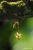 (Theobroma cacao) Cocoa flower