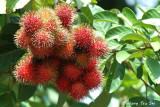 (Nephelium lappaceum)Rambutan