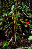 (Nepenthes chaniana)